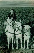 1952 - Futterrübenernte im Herbst
