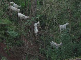 Landschaftspflege mit Ziegen